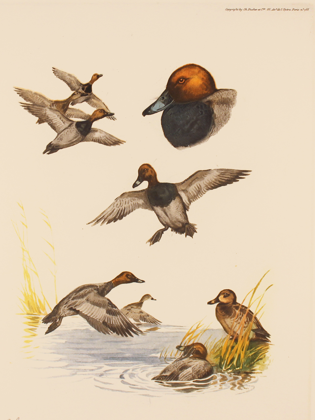 Engraving, Hand coloured restrike engraving, Pochard Duck Click to enlarge