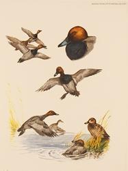 Engraving, Hand coloured restrike engraving, Pochard Duck Medium image. Click to enlarge