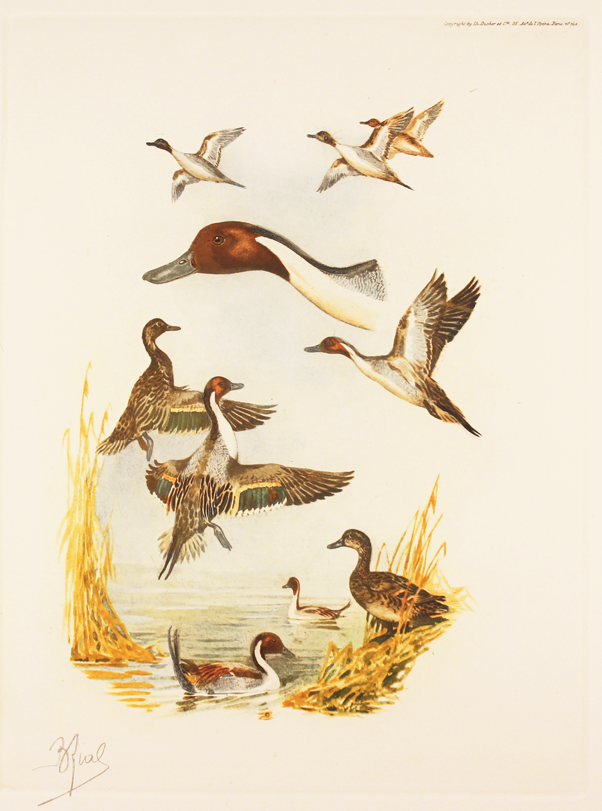 Engraving, Hand coloured restrike engraving, Pintail Ducks Click to enlarge