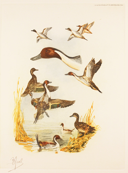 Engraving, Hand coloured restrike engraving, Pintail Ducks No frame image. Click to enlarge