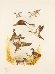 Engraving, Hand coloured restrike engraving, Pintail Ducks Medium image. Click to enlarge