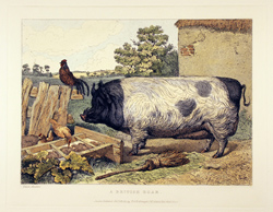 Engraving, Hand coloured restrike engraving, British Boar