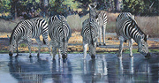 Pip McGarry, Original oil painting on canvas, Zebras Drinking, Botswana