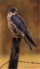 Wayne Westwood, Falcon, Original oil painting on panel